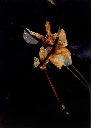 """Herbier de cire"" (series of 14), 1975  Flower and black Vergé paper in wax 24 x 17 cm, APP 034"