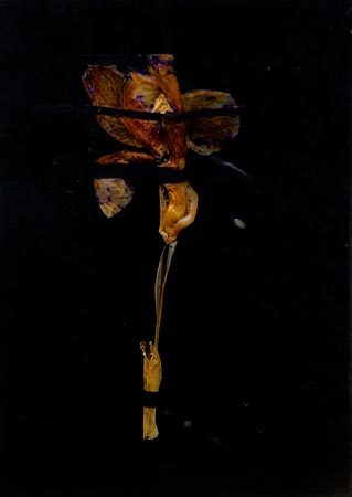 """Herbier de cire"" (series of 14), 1975  Flower and black Vergé paper in wax 24 x 17 cm, APP 031"