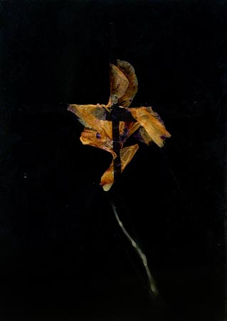 """Herbier de cire"" (series of 14), 1975 Flower and black Vergé paper in wax 24 x 17 cm, APP 035"