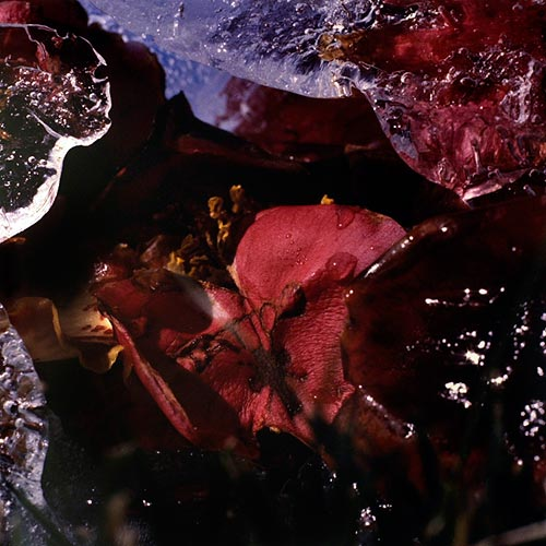 """""""Petales dans la glace"""" (1/5), 1999  Cibachrome 40 x 40 cm, APP 010"""